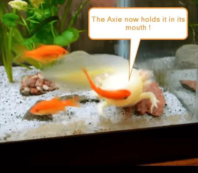 axolotl hunting goldfish