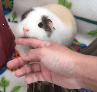 signs that my guinea pig likes me