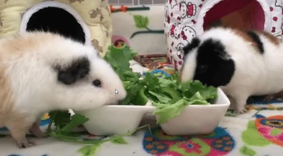 piggies that eat too much veggies won't drink much water