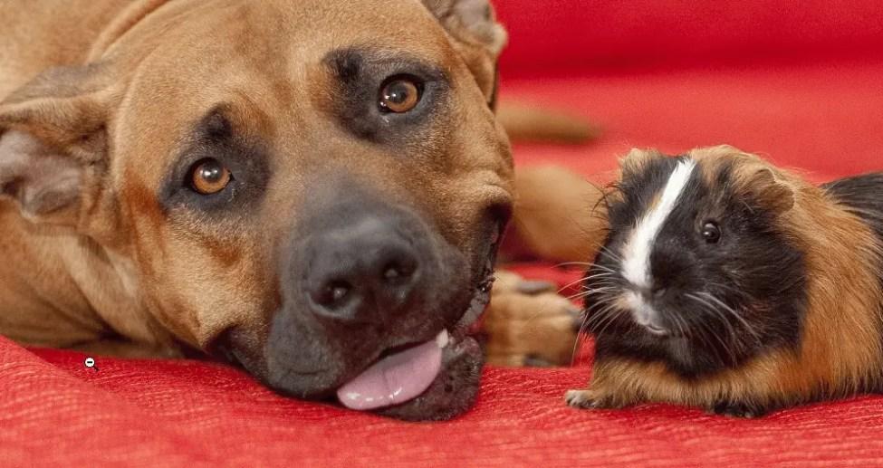 Introducing Guinea pig to Dog ?