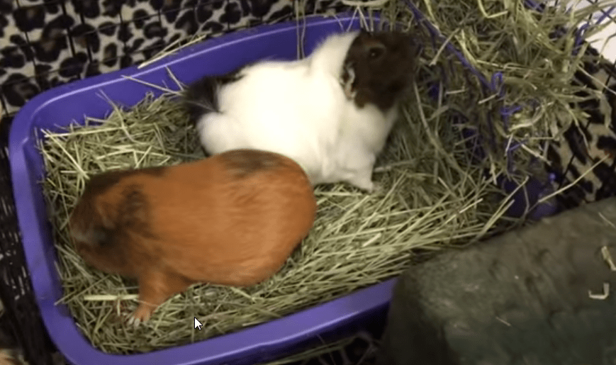 how to litter box training a guinea pig ?
