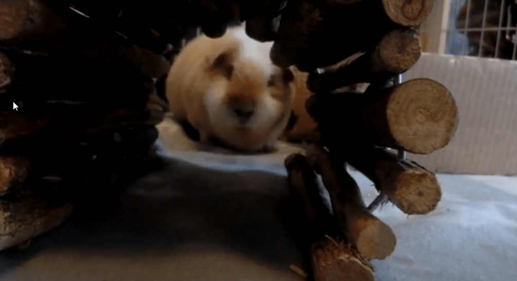 can my guinea pig see me ? how to make him love me ?