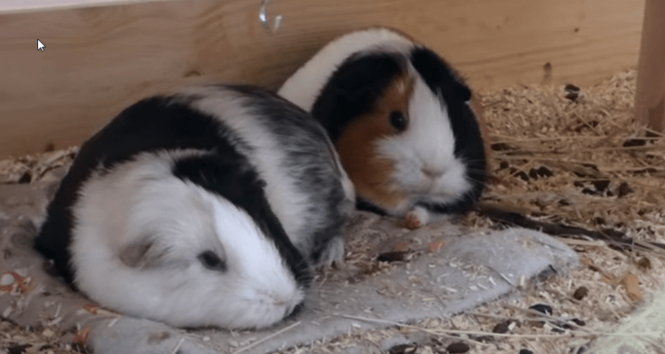 the rules when putting more than one guinea pig in the same cage