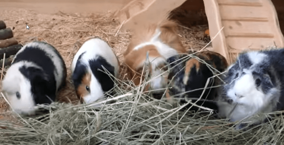 Can my guinea pig see me ?