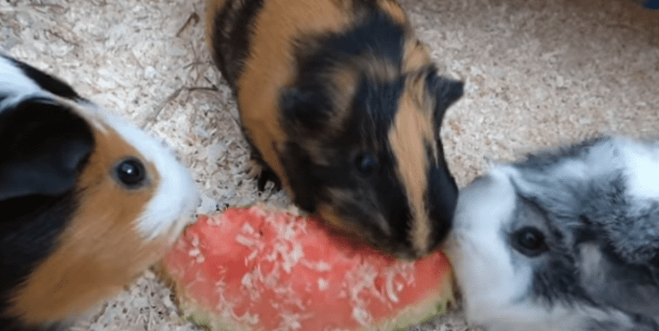 how to increase the bond between me and my guinea pigs ?