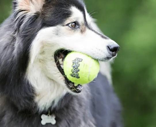 2020 12 03 21 57 14 KONG SqueakAir Balls Packs Dog Toy Medium 6 count Chewy.com