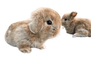 mini lop rabbits famillypet 1