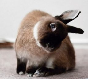 head tilt in rabbits