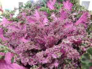 Pink kale
