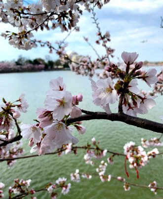 Close up of cherry blossoms