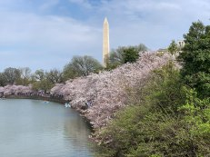 Washington Monument behind a bank of cherry blossoms