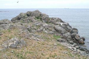 蕪島ウミネコ