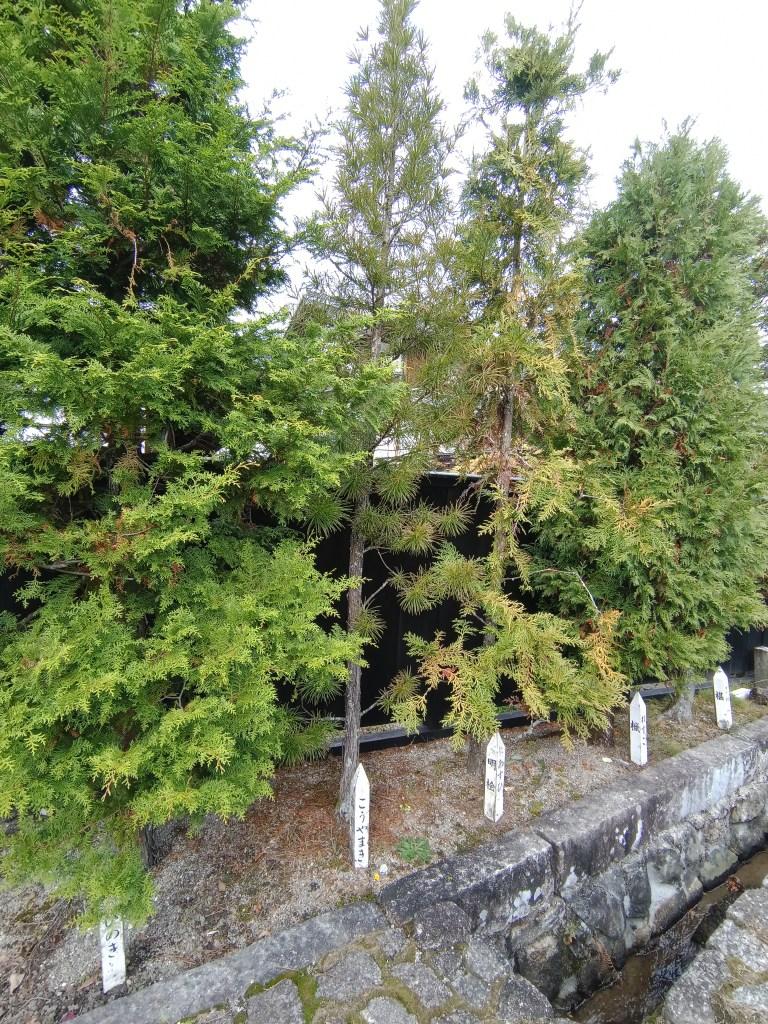 木曽の五木