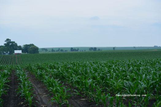 A stunted corn crop in the field.