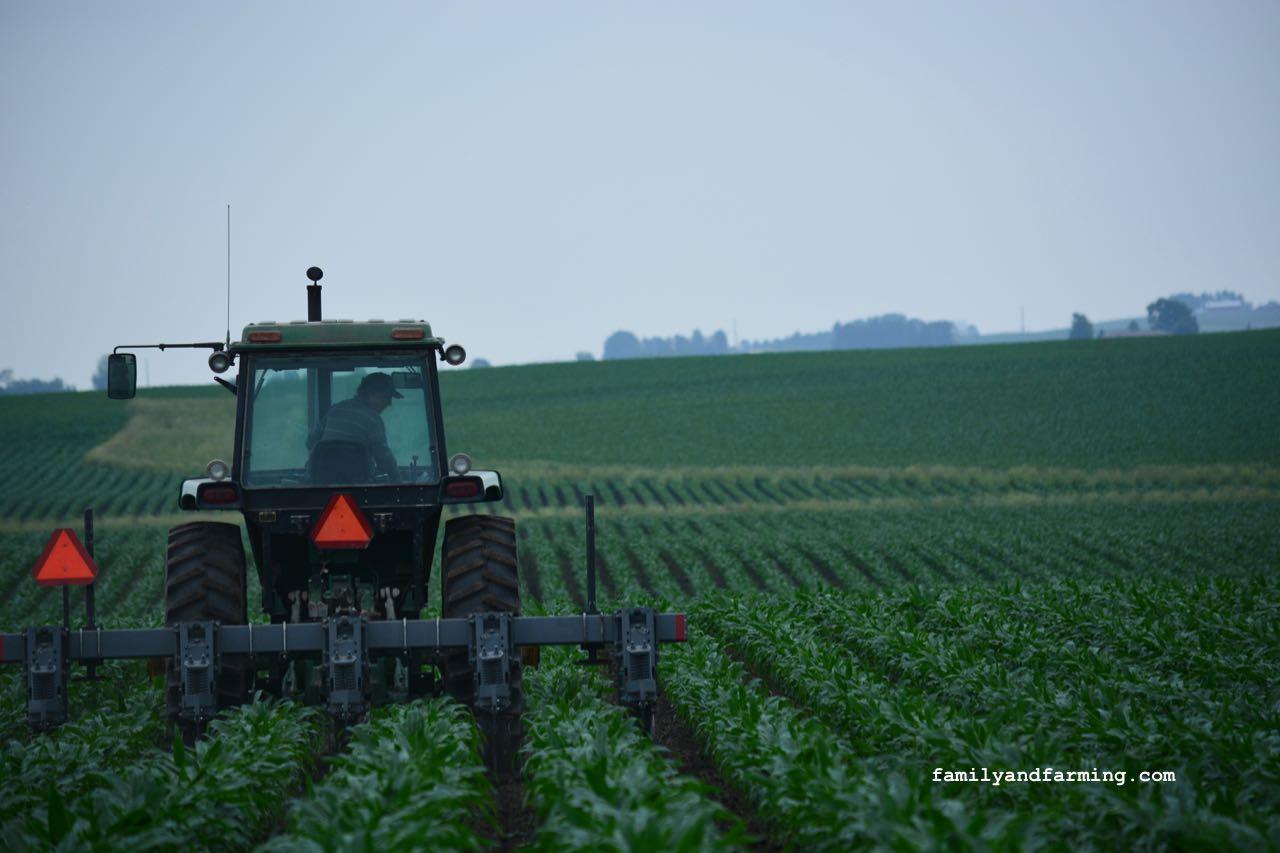 A tractor pulling a cultivator in a corn field.