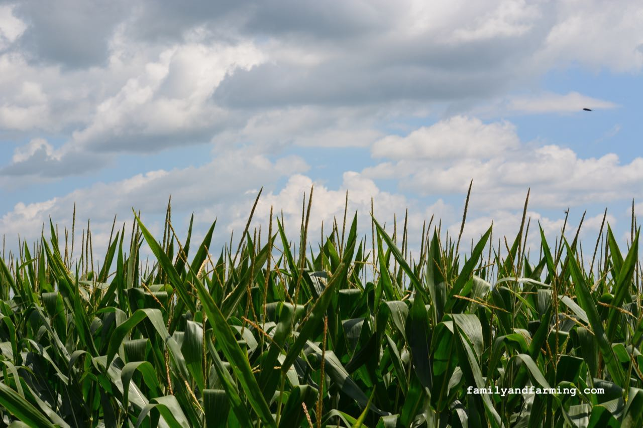 A photo of a dry corn field with clouds