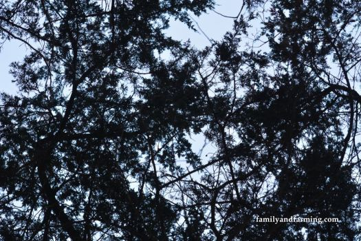 Looking up at cedar trees