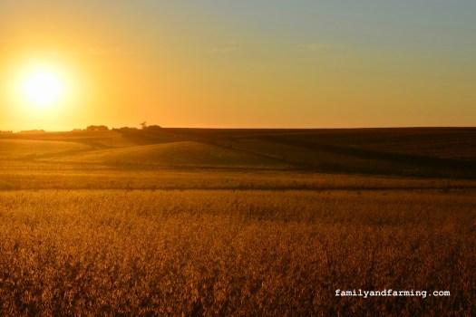 Soybean Field in the Morning