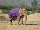 It gets cold in Thailand for a 70 year old Elephant