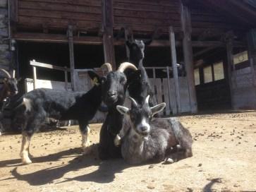 Goats at Refontana
