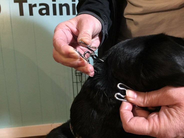putting on the prong collar