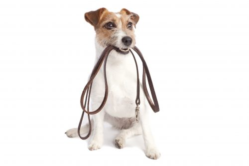 jack russell terrier holding his leash
