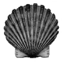 Cockle Shell