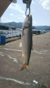 小浜新港で釣れたウグイ