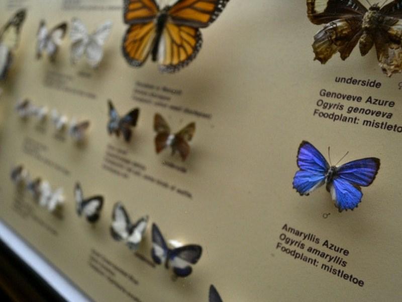 Australian Museum Butterflies