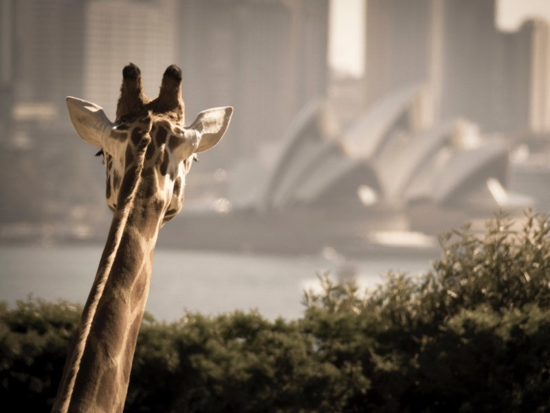 Taronga Zoo Sydney Giraffe City