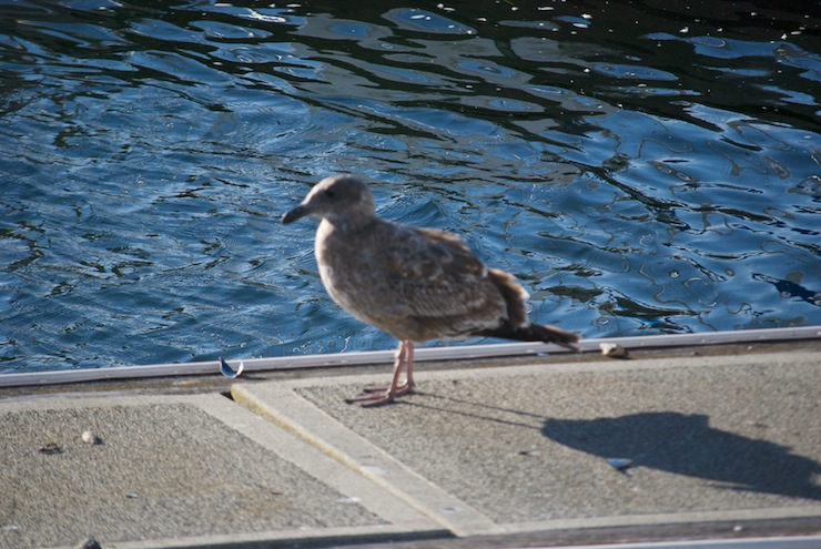 A healthy juvenile Western Seagull