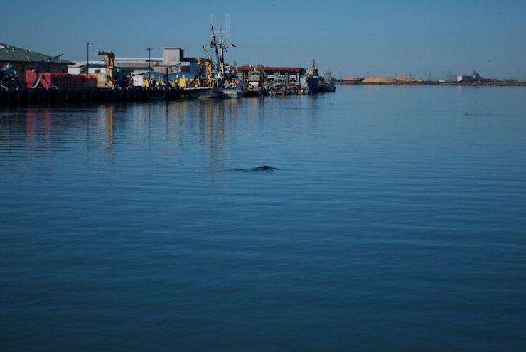 The Harbor Seals were all out when we left Eureka in the morning