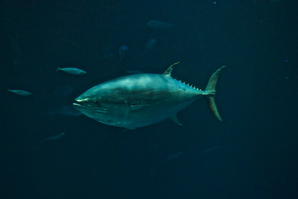 The large blue fin tuna were a special attraction of the large fish tank.