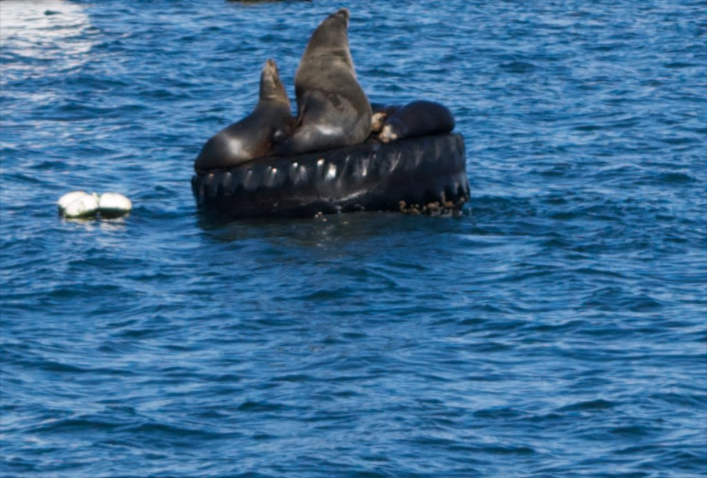 Right upon arrival to Monterey harbor - Seals and Sea Lions everywhere. even on mooring buoys.