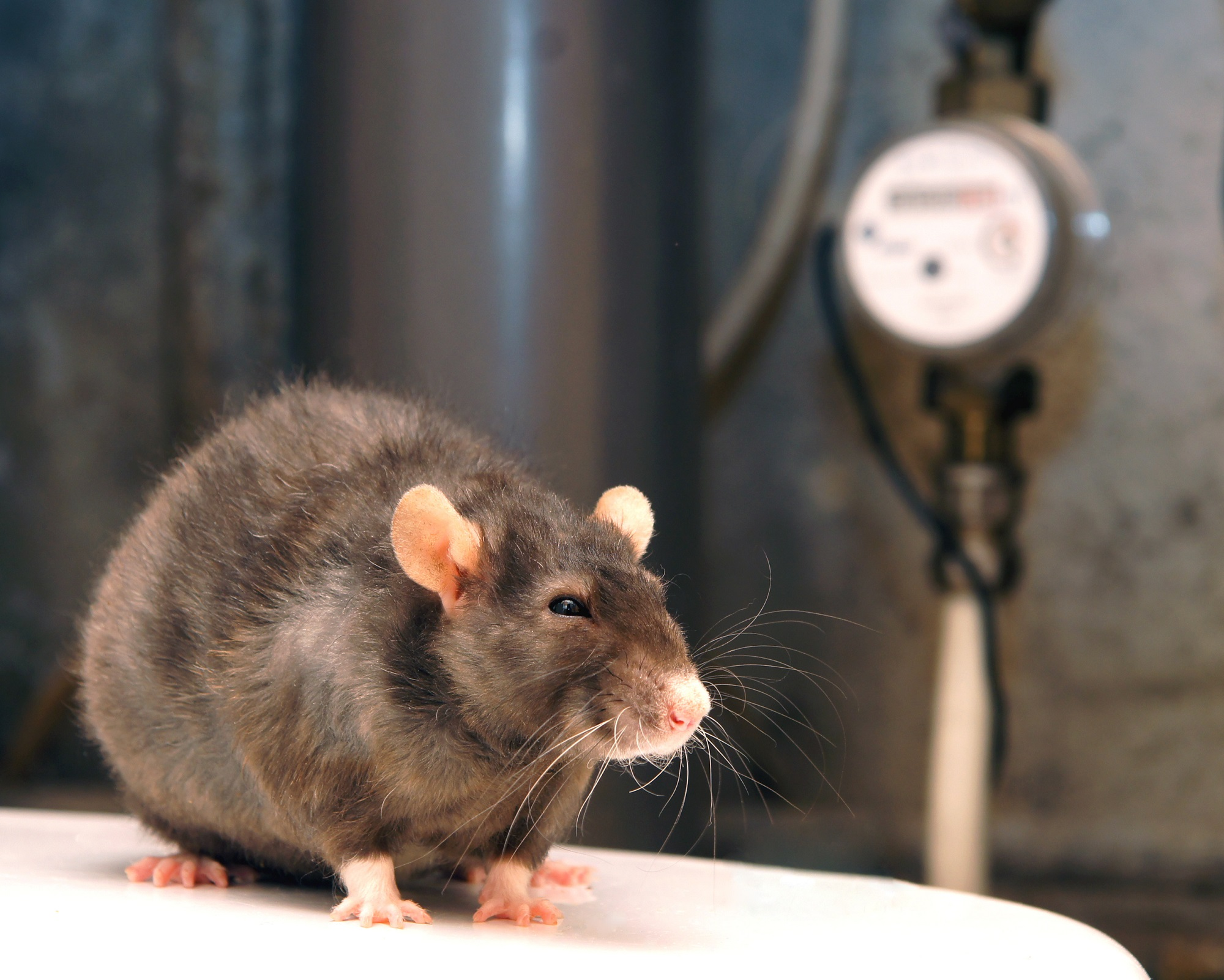 Rodent Removal Beaverton   Family Home Pest Control