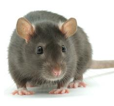 Rodent Removal Portland   Family Home Pest Control
