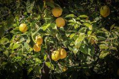 citron (1 sur 1)