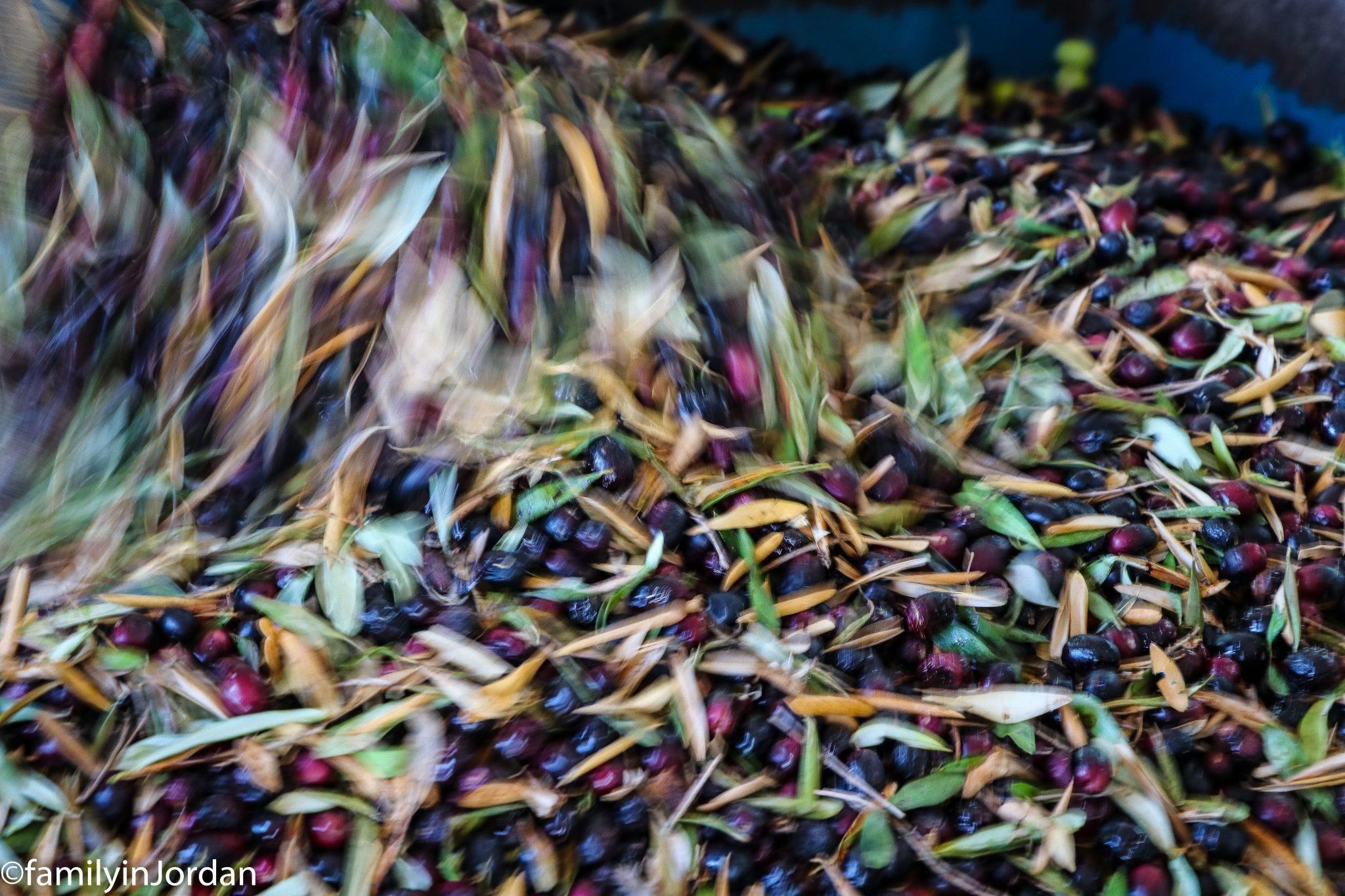 mvt olives