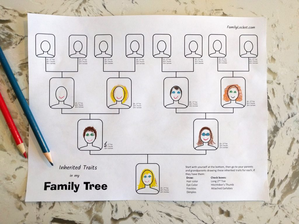 inherited traits family tree worksheet  u2013 family locket