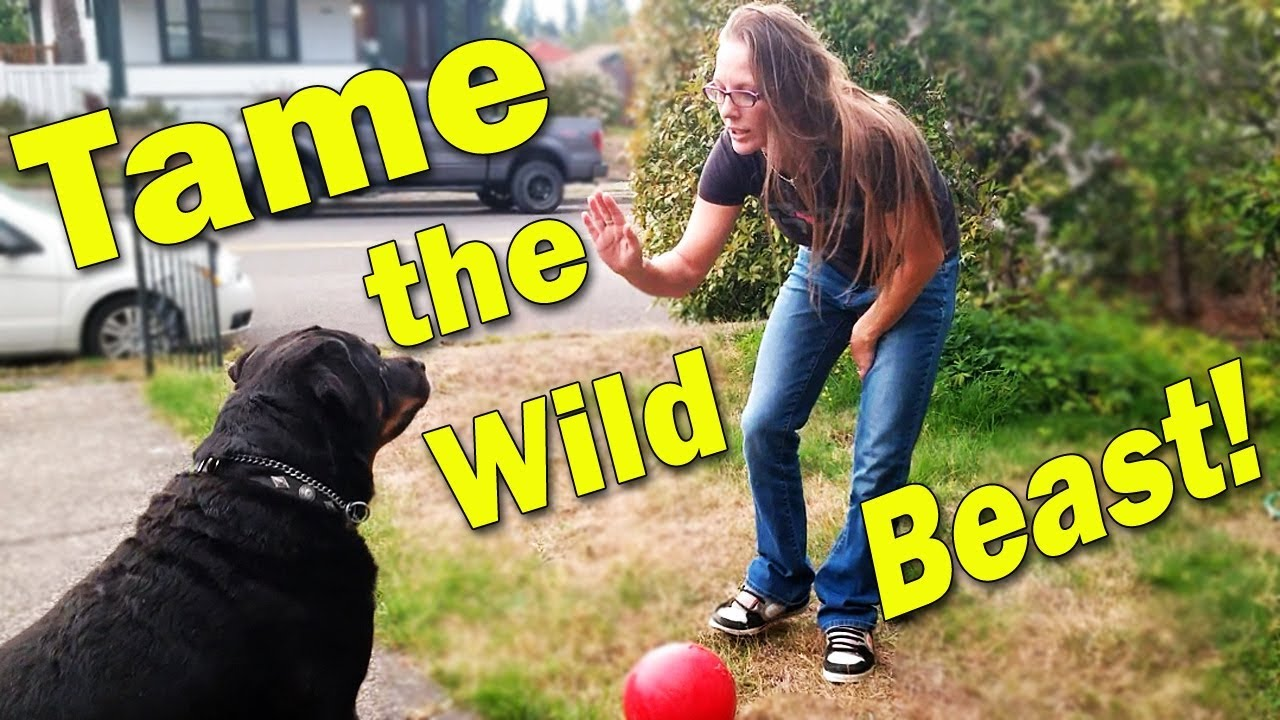 Taming Wild Beast Rottweiler Dog Happy Cappy Training - Taming Wild Beast Rottweiler Dog :) Happy Cappy Training