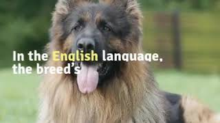 German Shepherd Dog Training - German Shepherd Dog Training