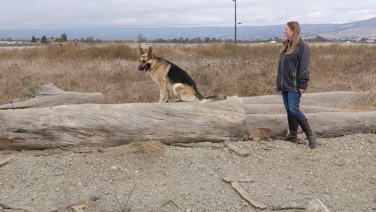 German Shepherd Drako Dog Training in Monterey CA - German Shepherd | Drako | Dog Training in Monterey, CA
