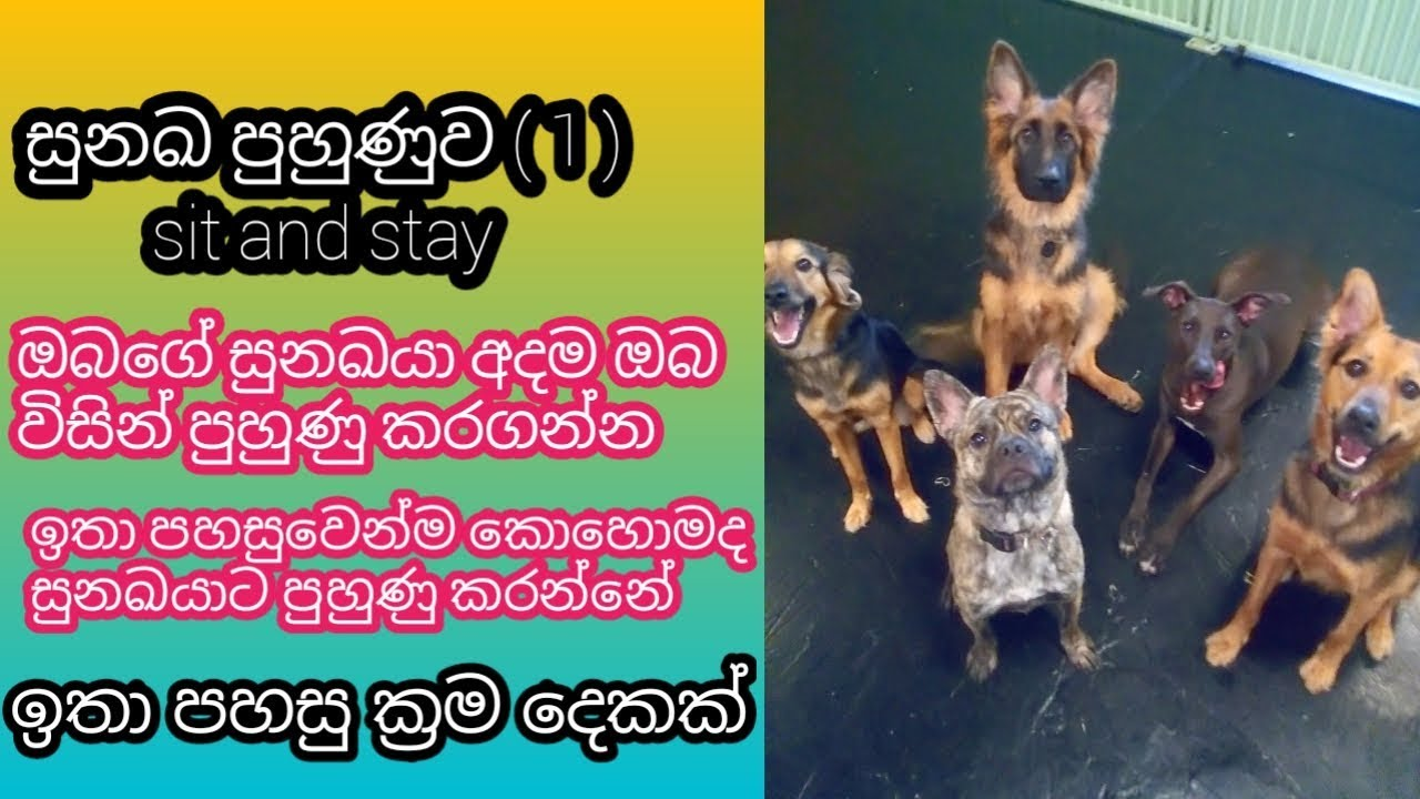 Sit and Stay tr dog training - Sit and Stay ඉතා පහසුවෙන්ම කොහොමද සුනඛයාට පුහුණු කරන්නේ, tr dog training