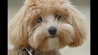 Coco Maltipoo 4 Weeks Residential Dog Training - Coco - Maltipoo - 4 Weeks Residential Dog Training