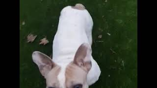 Dog Training Dave French Bulldog Sit Stay -