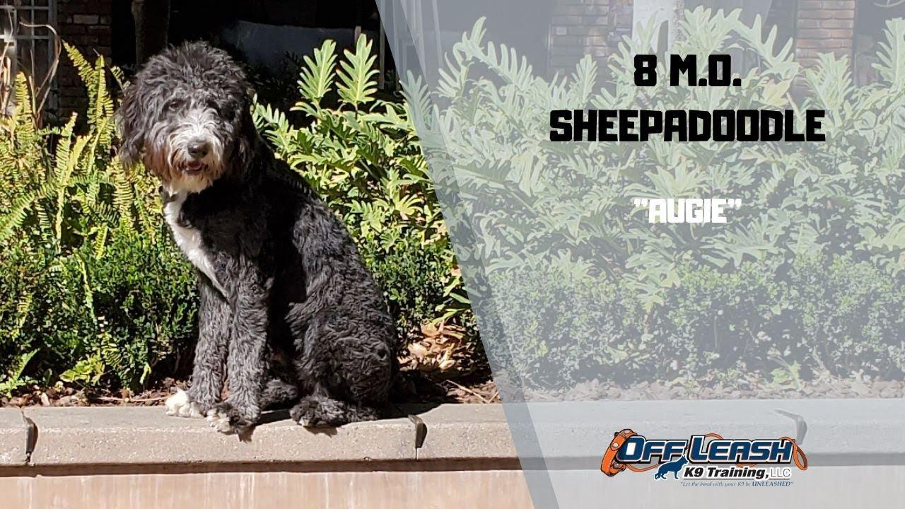SHEEPADOODLE DOG TRAINING - SHEEPADOODLE / DOG TRAINING
