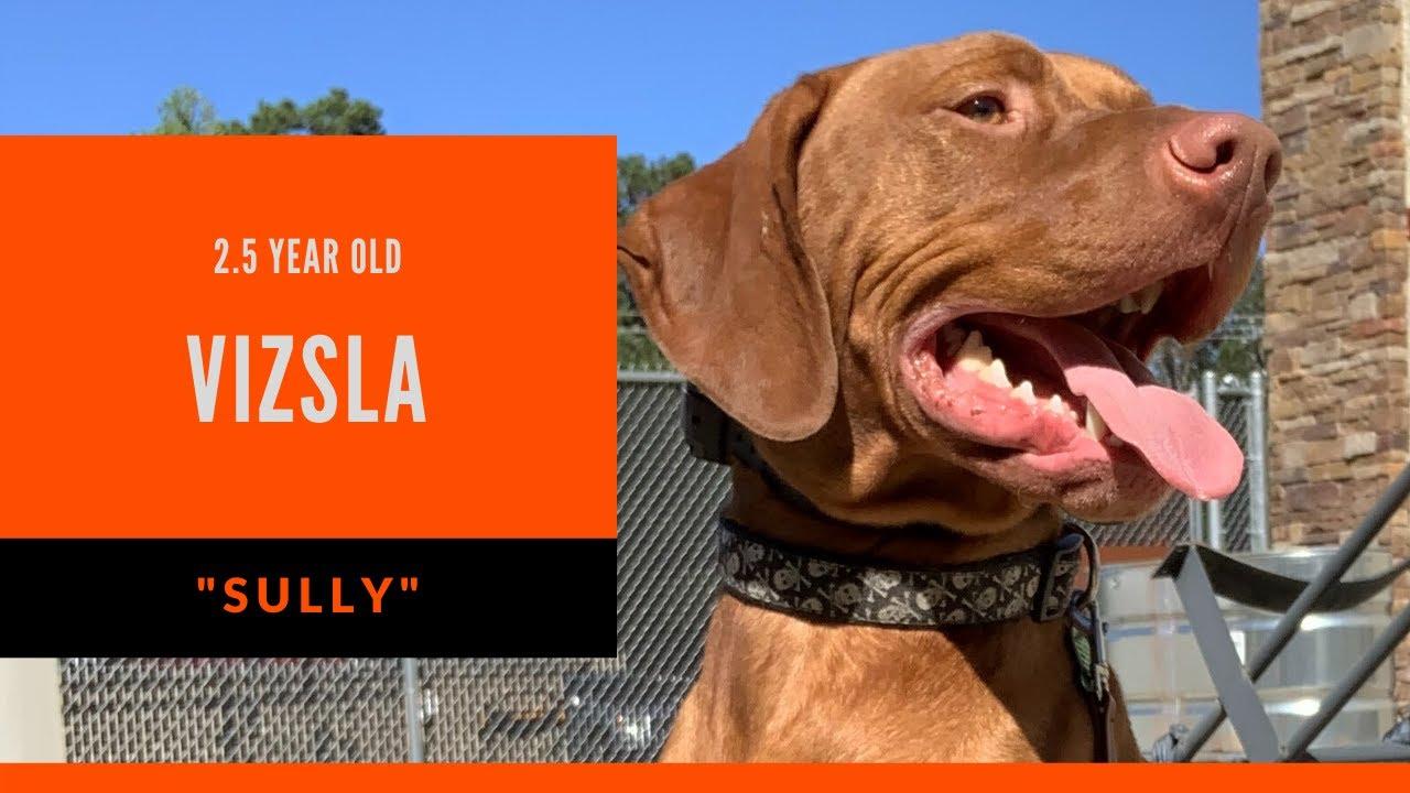 Sully 2.5 Year Old Vizsla Dog Training North Atlanta North Atlanta Obedience Trainers - Sully | 2.5 Year Old Vizsla | Dog Training North Atlanta | North Atlanta Obedience Trainers