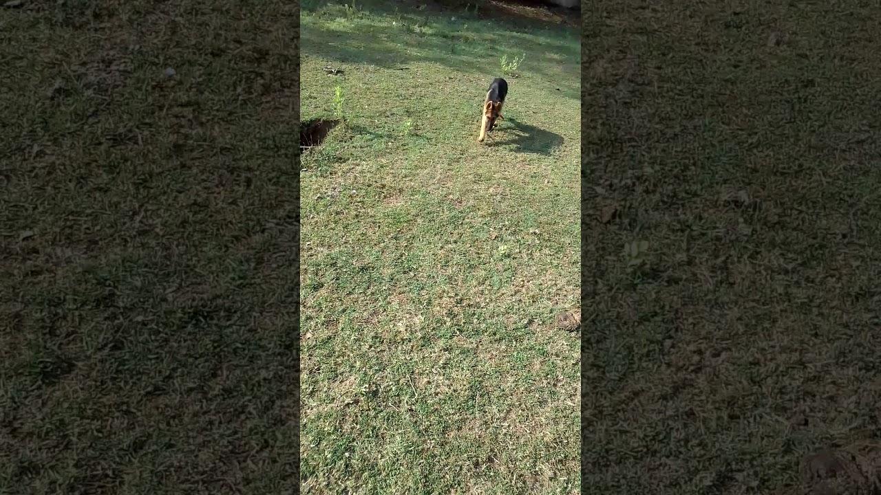 Dog training - Dog training