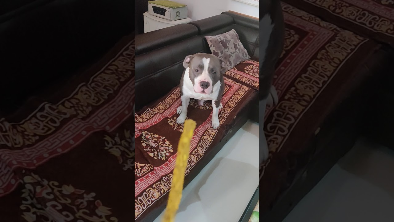 Pitbull dog training - Pitbull dog training