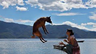Belgian Shepherd Dog Training Belgian Malinois Jumping video 2020 - Belgian Shepherd Dog Training: Belgian Malinois Jumping video 2020